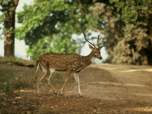 Deer in Kanha-National-Park