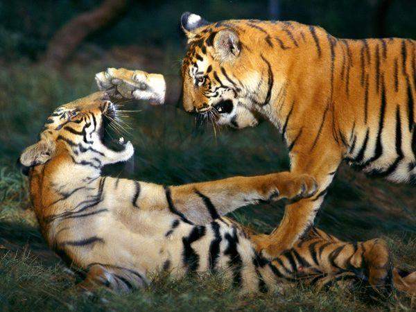 Indian-wildlife