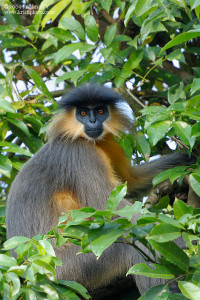 Langur in Manas-National-Park