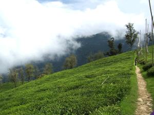 Tea Garden-dajeling