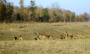 deer in Pench-National-Park