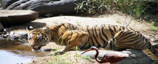 tiger in Kaziranga National Park