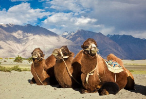 camel safari ladakh