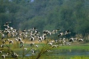 sultanpur-birds