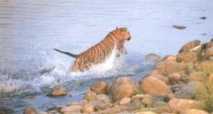 tiger at Nanda Devi National Park