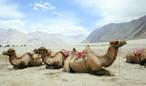 Camels of Nubra Valley