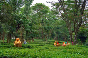 Palampur- Tea Capital of North India