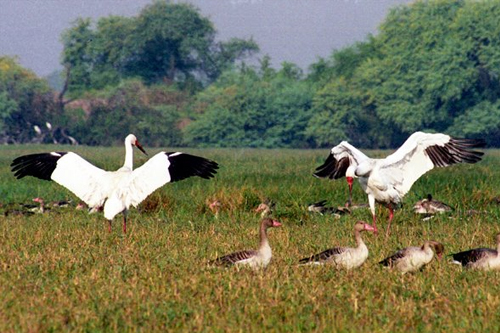 Siberian Crane keoladeo national park