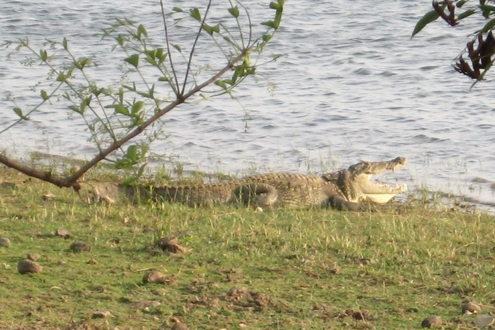 crocodiles simlipal national park