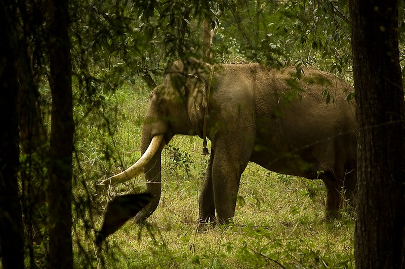 elephants wayanad sanctuary