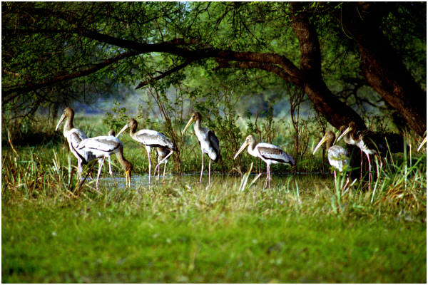 birds - keoladeo national park