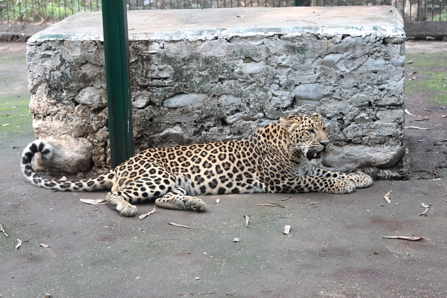 Leopard in the Renuka Zoo