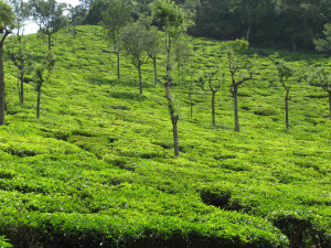india coonoor tea estate Ooty Hill Station - ooty travel guide