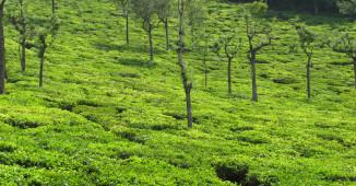 coonoor tea-estate
