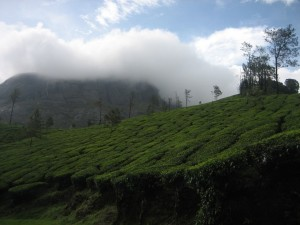Peermade tea estates