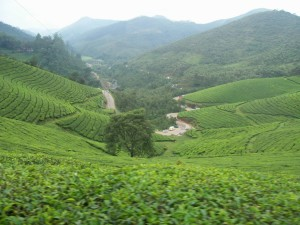 Tea Plantations - devikulam