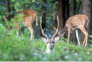 Deer at the Parambikulam Wildlife Sanctuary