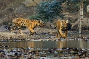 Tigers at the Parambikulam Wildlife Sanctuary