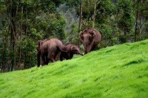 elephants at Periyar Wildlife Sanctuary