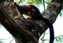 shenduruny wildlife squirrel Shenduruny Wildlife sanctuary - kerala