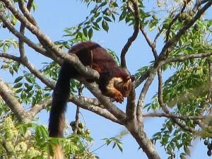 Srivilliputhur Giant Squirrel