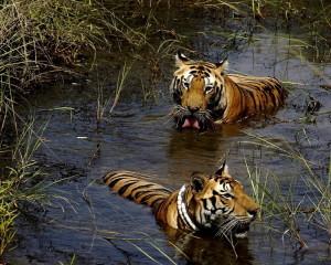 Corbett National Park-Tigers