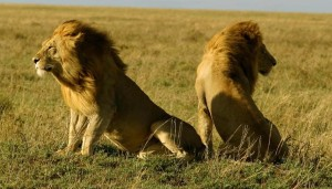 Gir National Park - Asiatic Lions
