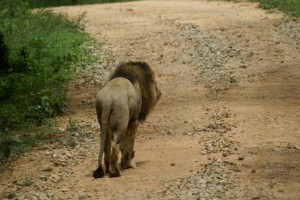 Lion in Bannerghatta National Park