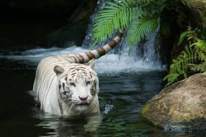 White tiger at Bandhavgarh National Park