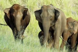 elephants in Periyar Wildlife sanctuary