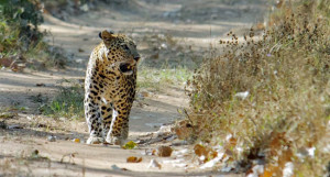 leopard in Kanha National Park