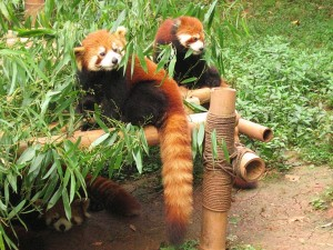 red panda - Himalayan Zoological Park