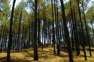 Pine Forest Near Ranikhet in India