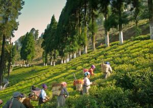 Tea Estate - kurseong