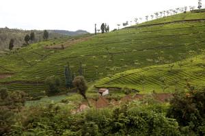 Doddabetta tea garden