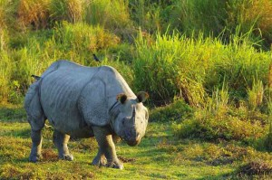rhinoceros at gorumara national park