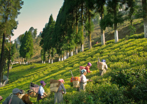 Tea Estate kurseong Kurseong Sightseeing - Kurseong tourism