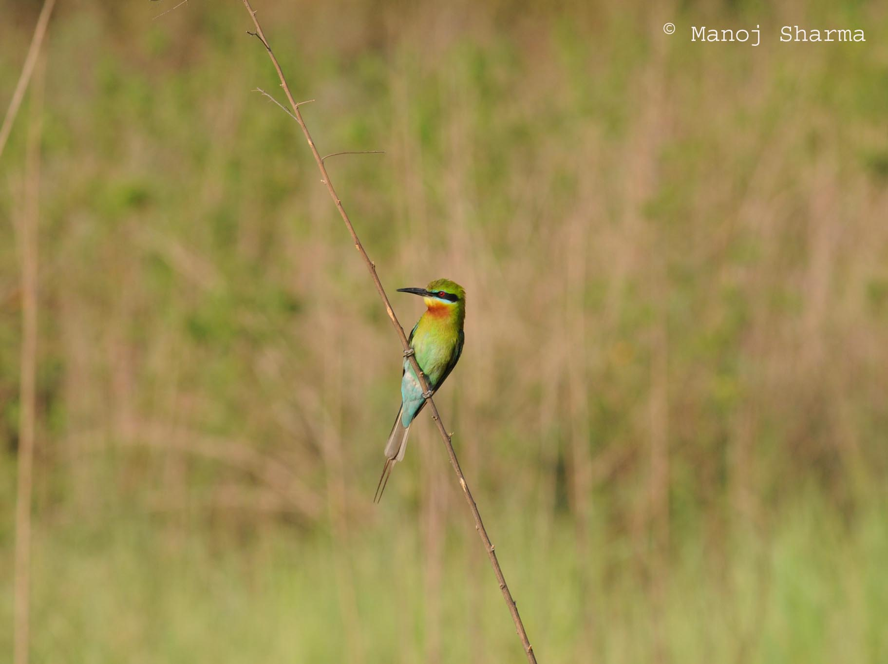 tailed Bee-eater