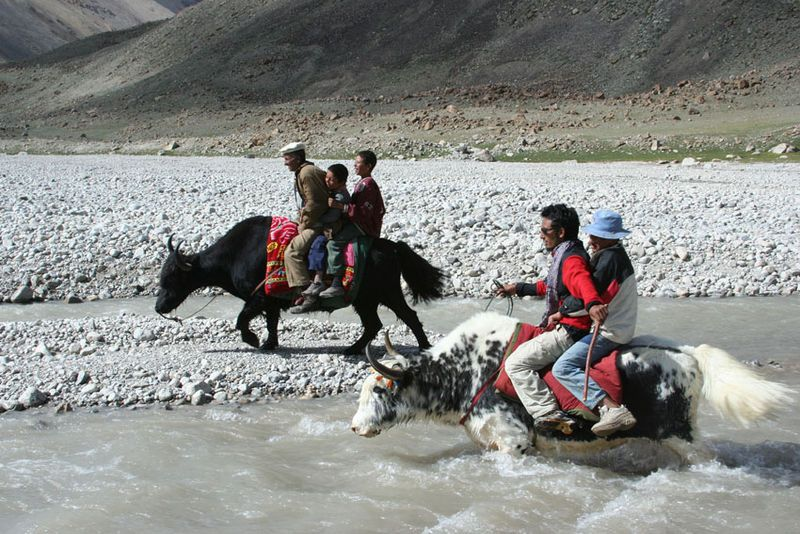 Yaks-in-Pakistan-3
