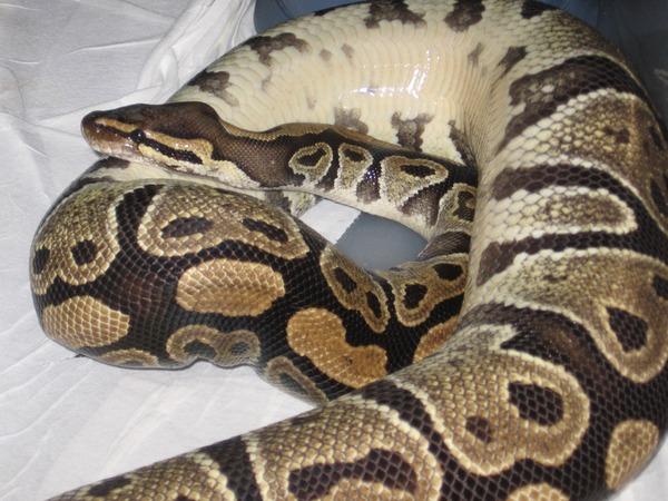 Python serpent Pythonidae Snake serpiente piton Snake Pythonidae piton Python serpiente serpent serpent Snake Python piton serpiente Pythonidae Ball_Python_Inverted_Basking_w600_h450