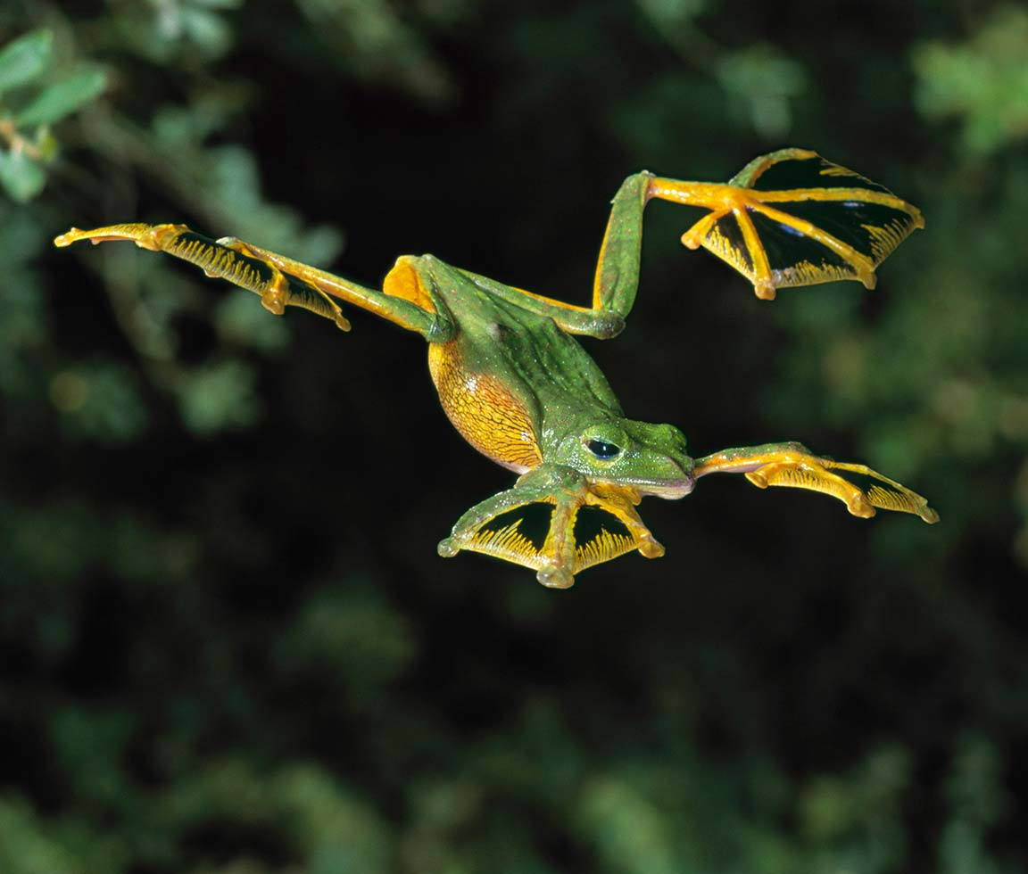 flying frog Flying High in the sky: the only 5 flying animals found in India