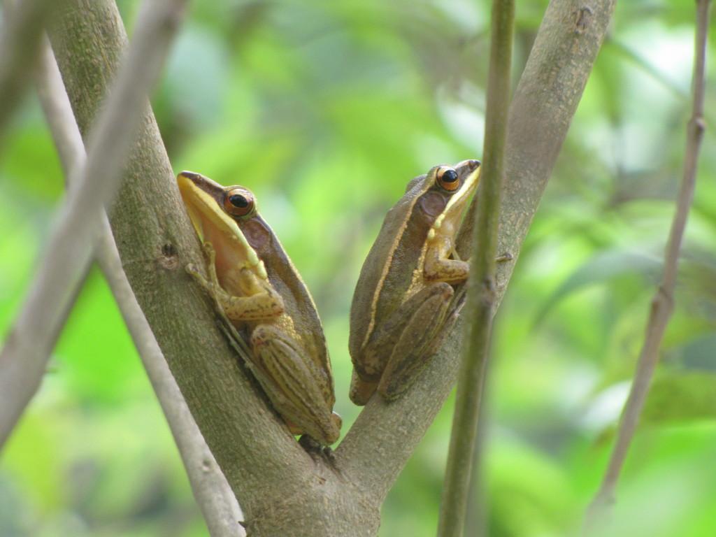 golden-frogs-hylarana-aurantiaca