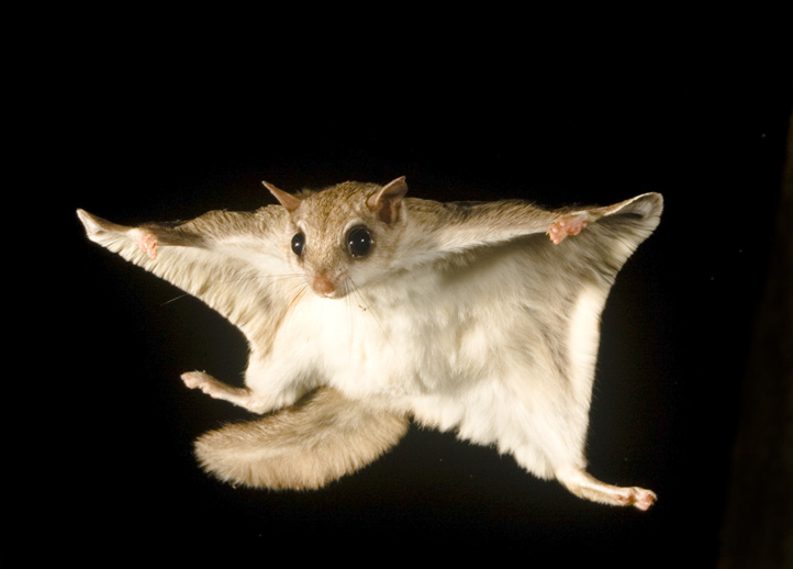 southern flying squirrel raleigh nc remove Flying High in the sky: the only 5 flying animals found in India