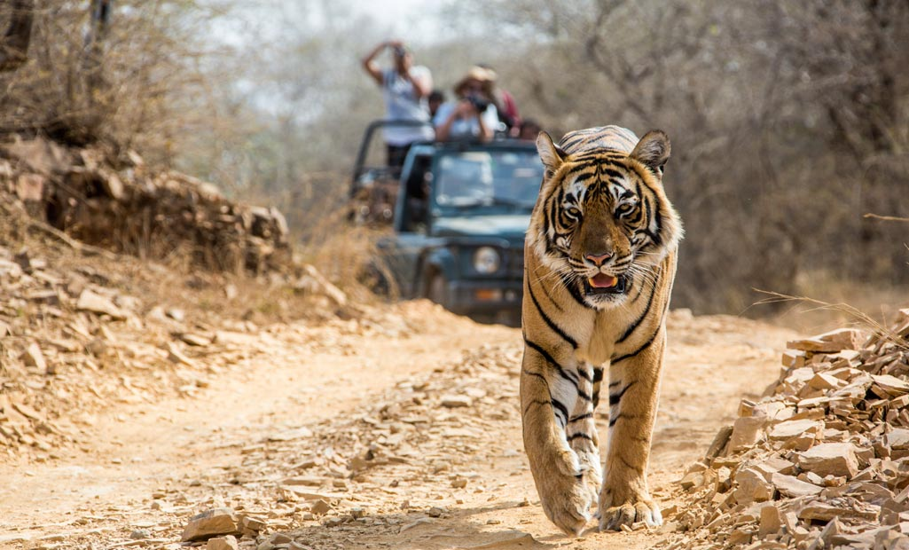 Jim Corbett tiger safari