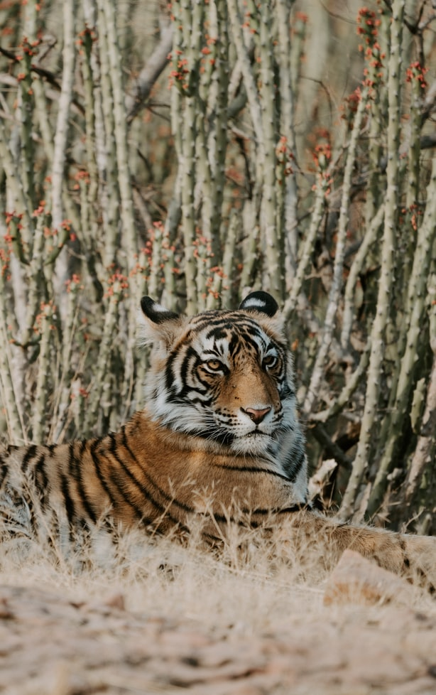 Ranthambore National Park 10 National Parks In India To Visit On Your Next Holiday